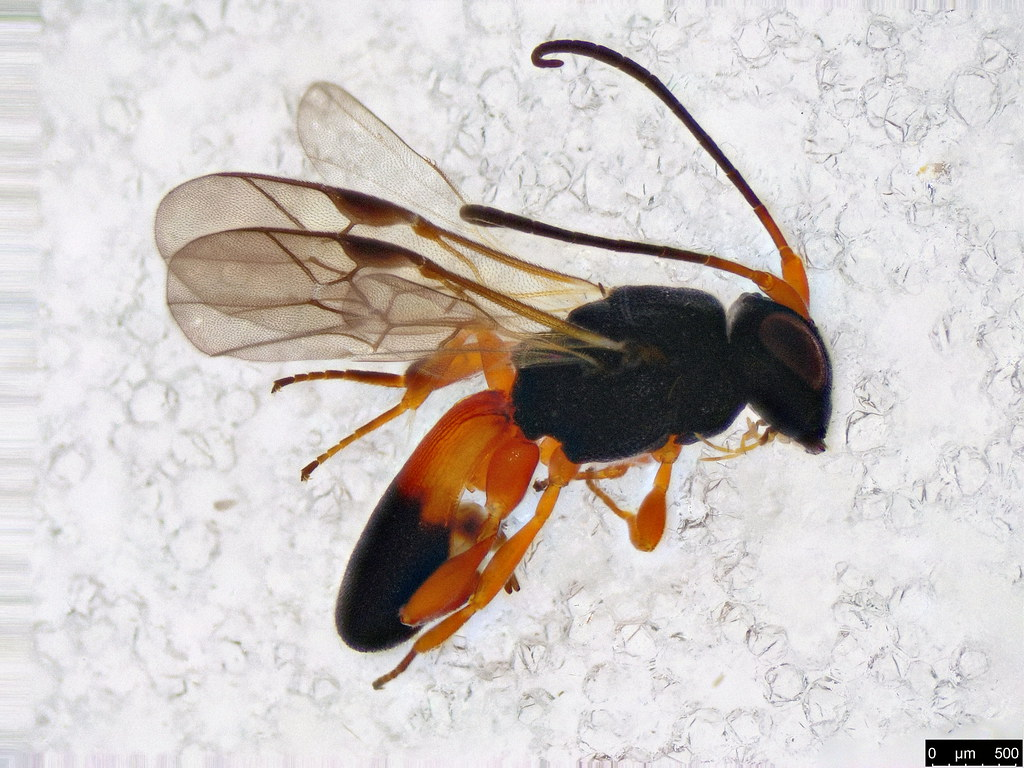 24 - Cheloninae sp.