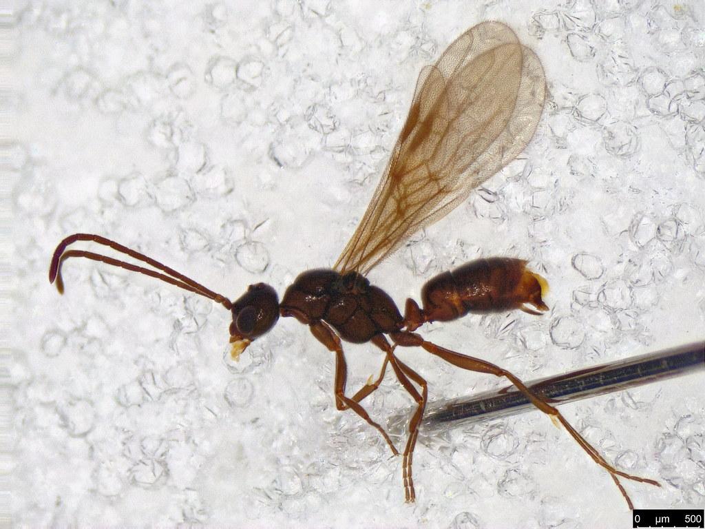 37 - Formicidae sp,