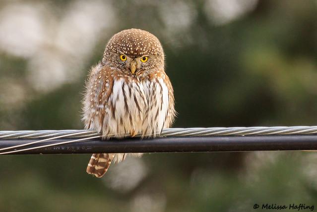 Northern Pygmy-Owl (Glaucidium californicum) - BC