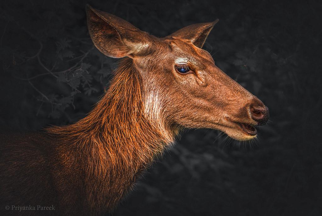 Female Sambar Deer...