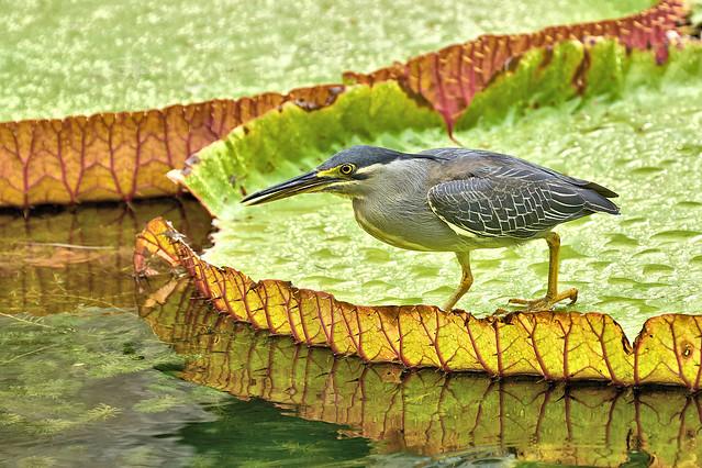 Striated Heron - Butorides striata