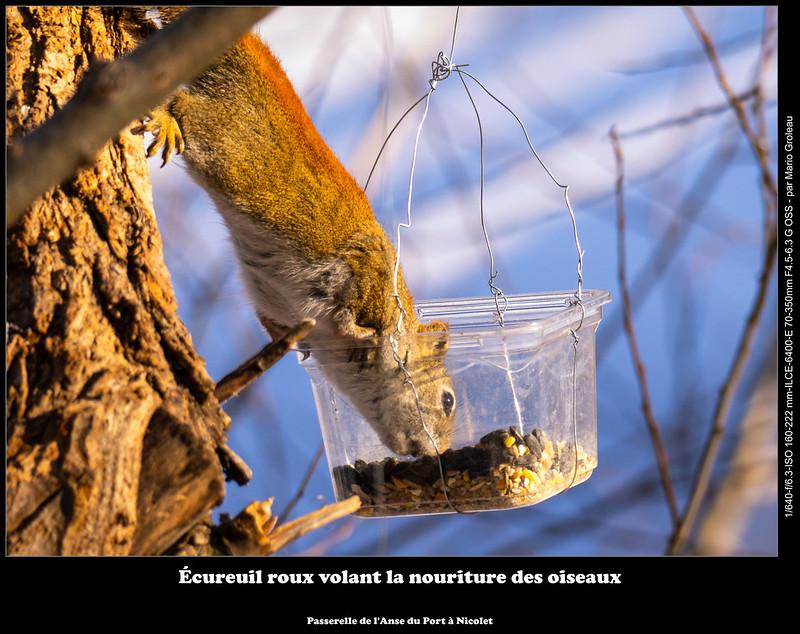 Écureuil roux volant la nouriture des oiseaux