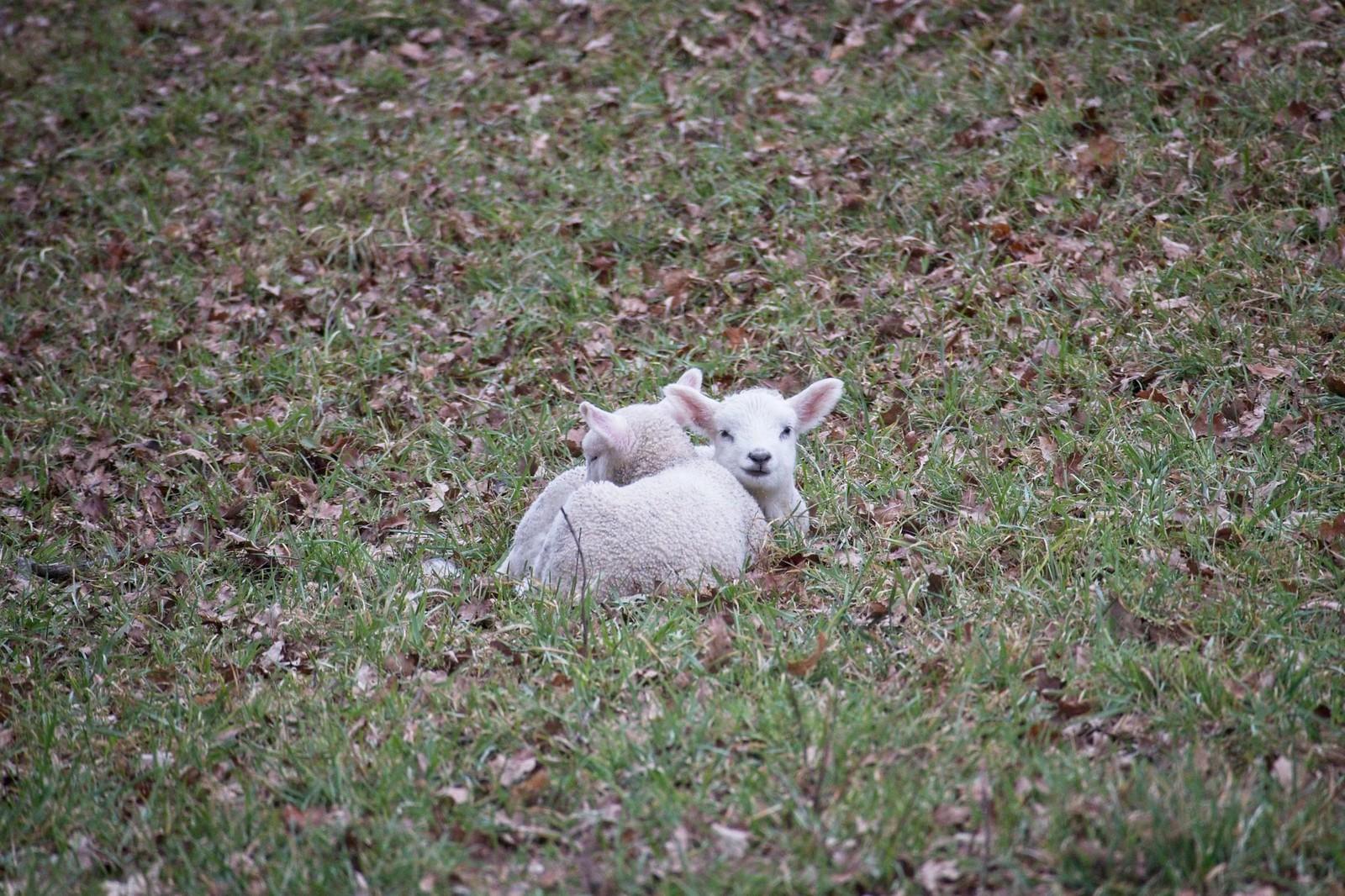Schafe bei Ingelheim