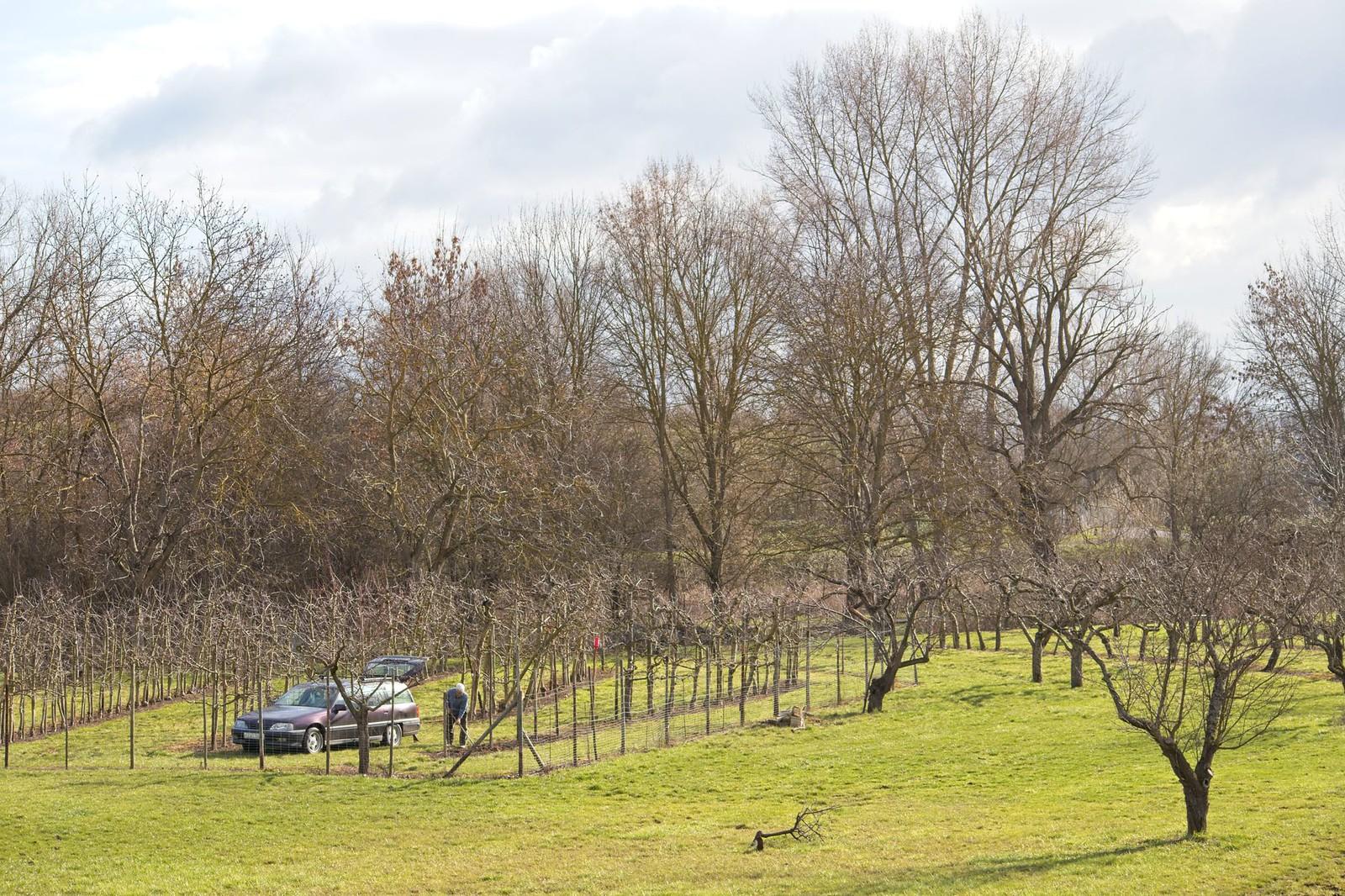 Obstbäume in den Ingelheimer Auen