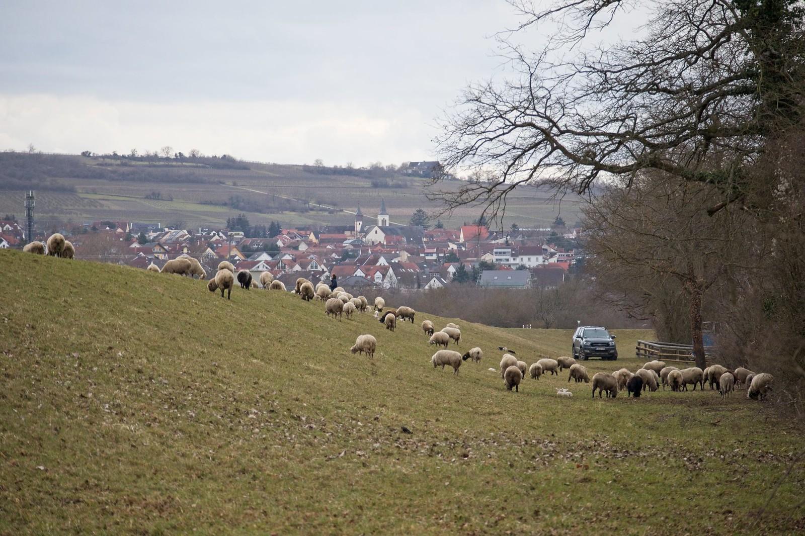 Schafsherde bei Ingelheim