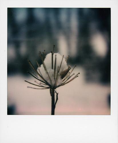 Agapanthe en hiver ...