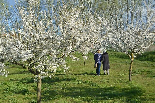 La passeggiata nel frutteto in fiore, Bologna Fossolo, Explore Mar 18, 2021 #446