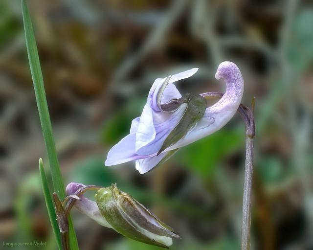 Long-spurred Violet - Viola rostrata  -  Violaceae: Violet family