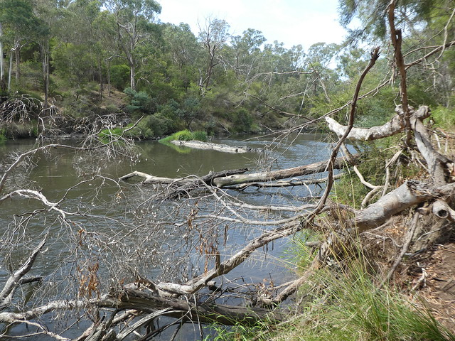 Fallen trees, Yarra River, Warrandyte