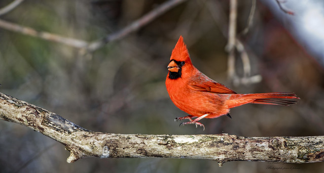 ♀ Cardinal rouge -  Northern Cardinal, - Cardinalis cardinalis