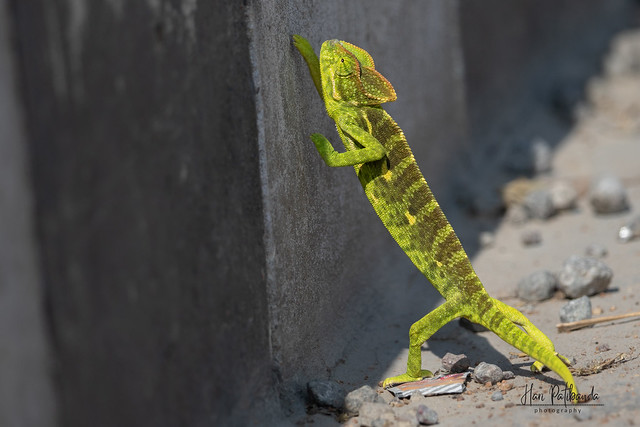An Indian Chameleon Trying to cross the road