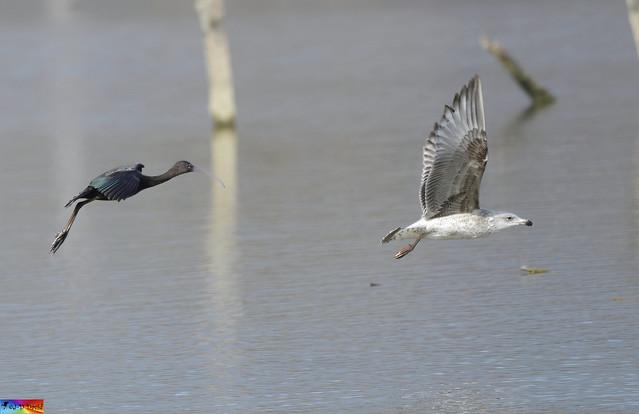 Ibis falcinelle et Goéland en vol !