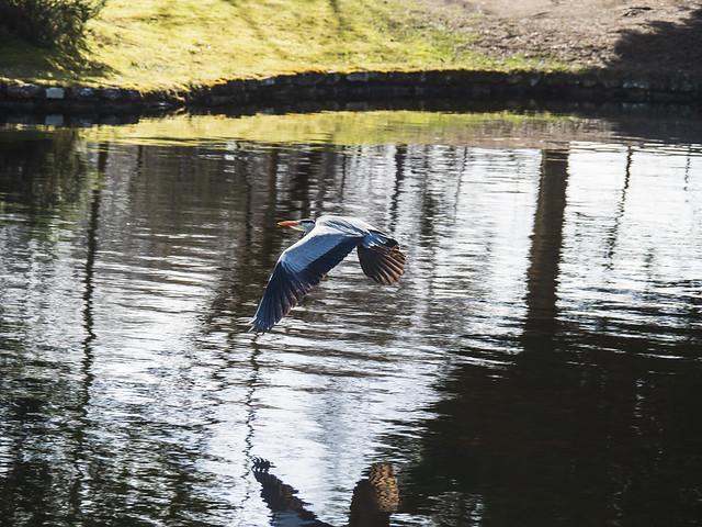 Heron at the park
