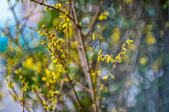 Forsythia with flowers