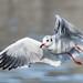 Lachmöwe - Black-headed Gull