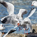 Lachmöwen - Black-headed Gull