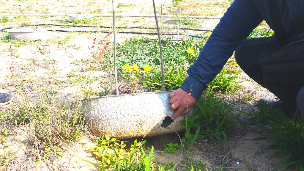由於金門缺水太久,造林地周遭的動物、昆蟲都會來利用水寶盆,現場可見老鼠咬破水寶盆的痕跡。黃思敏攝