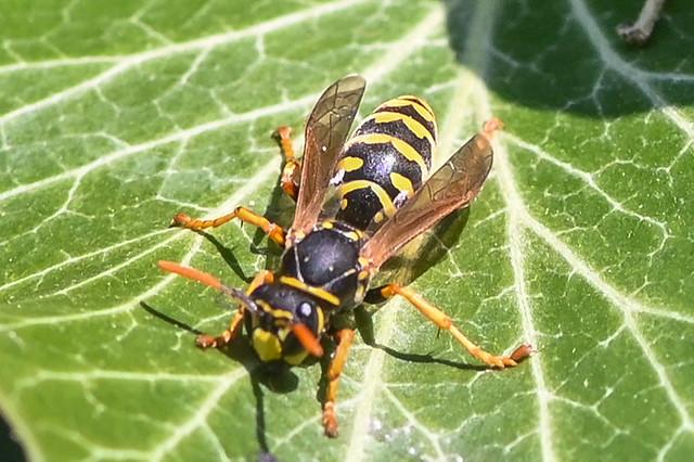 Poliste dominula  --  Wasp   --  Guêpe