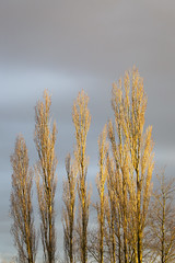 Poplar Trees, Late Afternoon