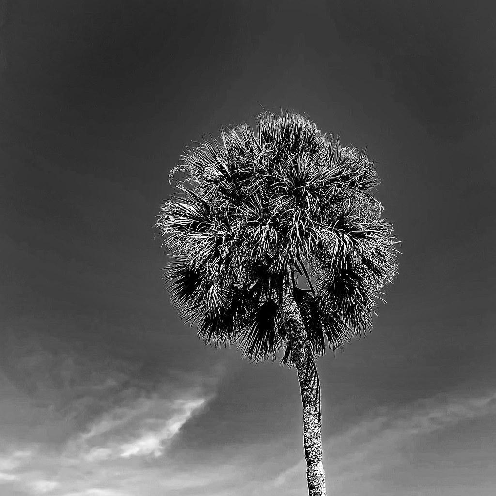 Museum Palm