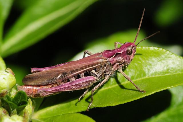 Chortippus biguttulus