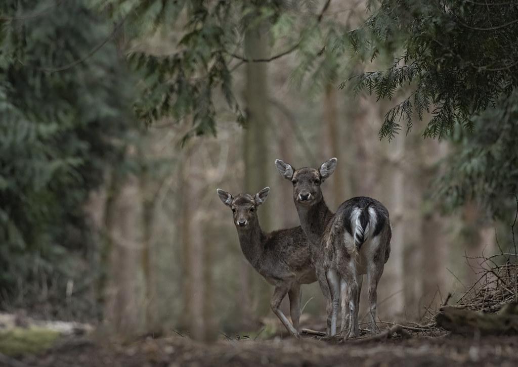 Fallow-deer_9850