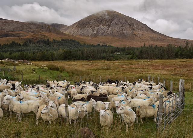 Looking a little Sheepish..