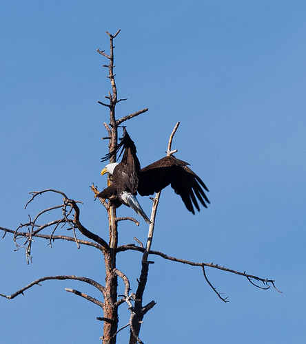 adult_bald_eagle_landing_in_tree-20210318-100-3