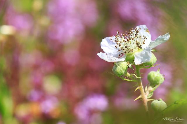Fleur de roncier