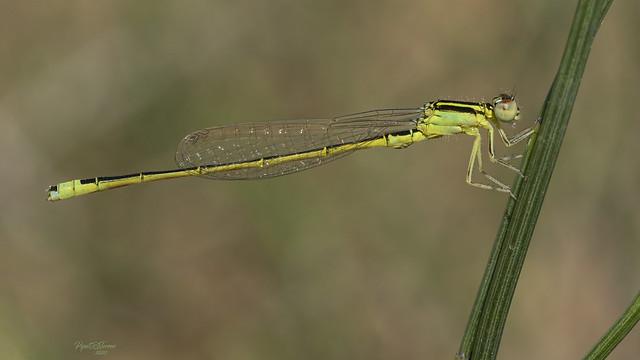 Ischnura pumilio (Charpentier, 1825)