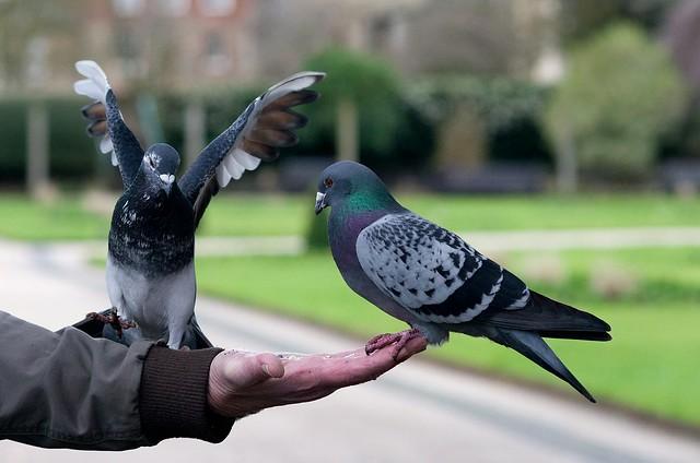 Pigeon Yoga (Explore #286)