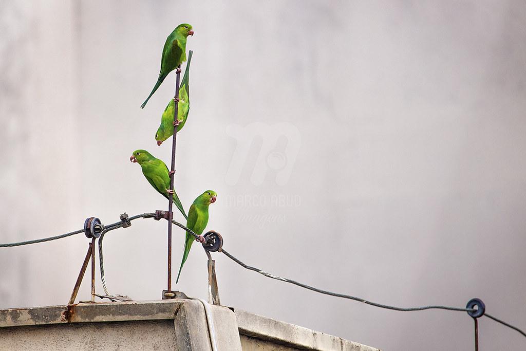 Periquito Rico | Plain Parakeet | Brotogeris tirica