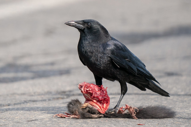 Crow with a Squirrel Lunch
