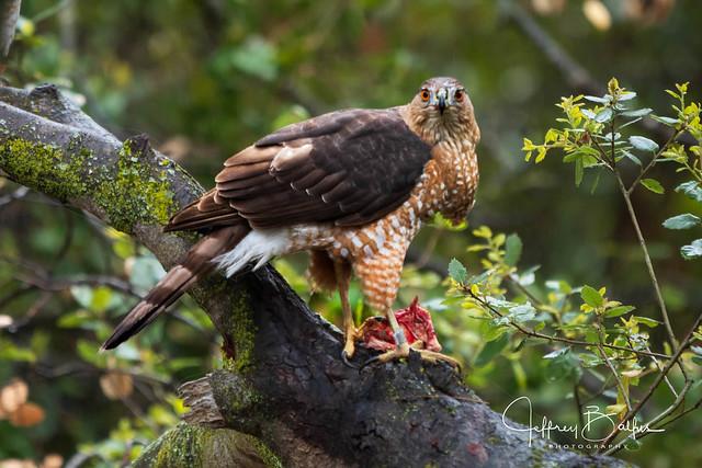 Hawk Looking at You!-