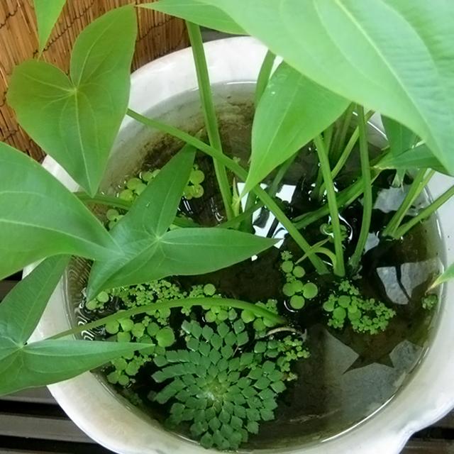 sagittaria-sagittifolia