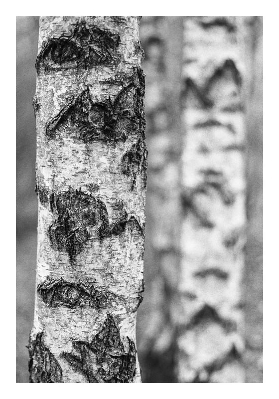 Silver birch-2