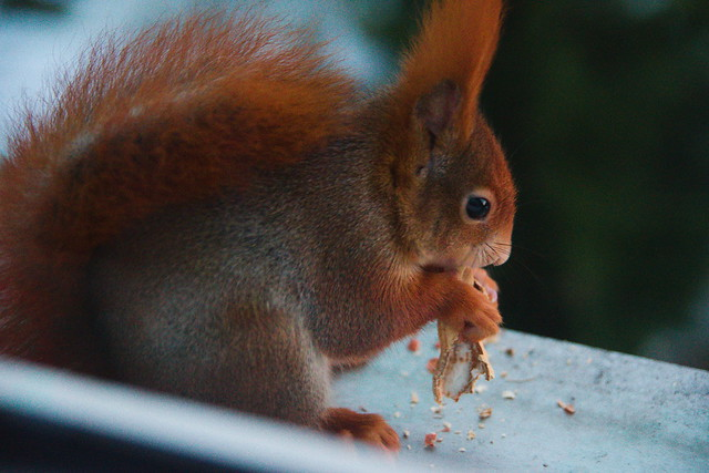 red squirrel with peanut