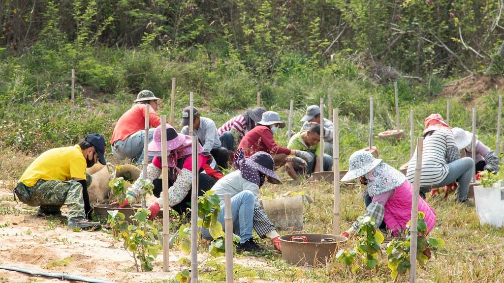 植樹團隊熟練地種植樹苗。照片來源金門縣林務所提供