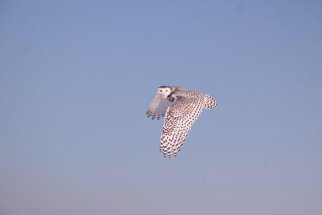 Harfang Snowy owl