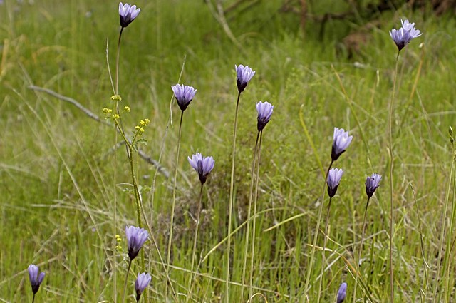 Dipterostemon capitatus (Blue Dicks)