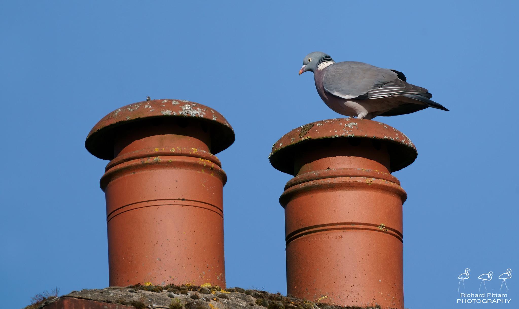 Woody on chimney pot