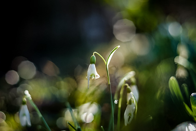 Snowdrop (Thank you for explore)
