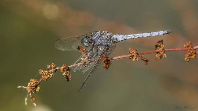 Orthetrum coerulescens. Adult male