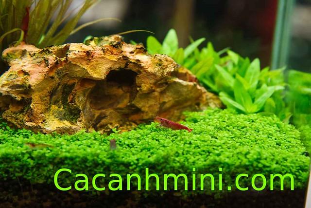 Tổng hợp cây thủy sinh tiền cảnh đẹp dễ trồng