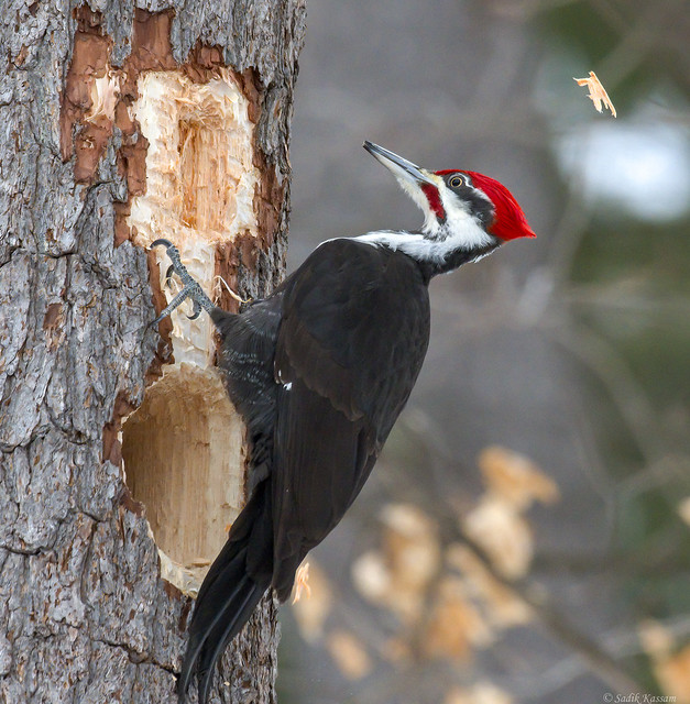 Pileated Woodpecker ♂ - High Impact Hammering 1 of 2