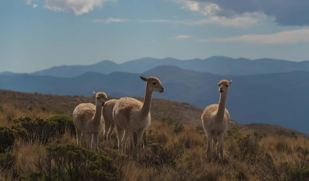 les-lamas-et-alpagas-portent-des-gènes-fantômes