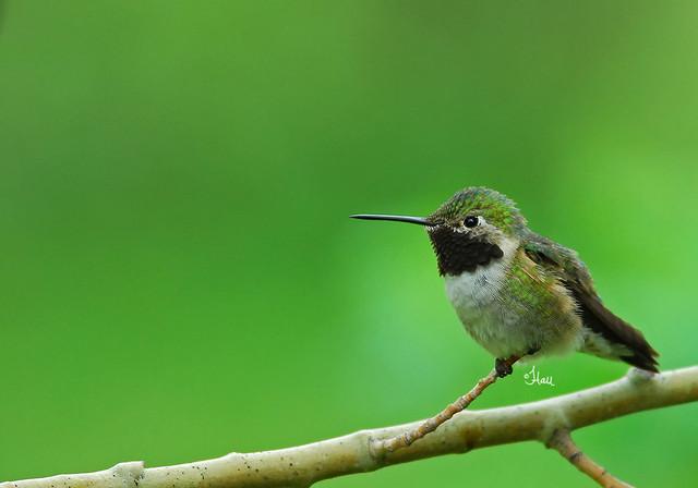 Broad-tailed Hummingbird - 7044b+
