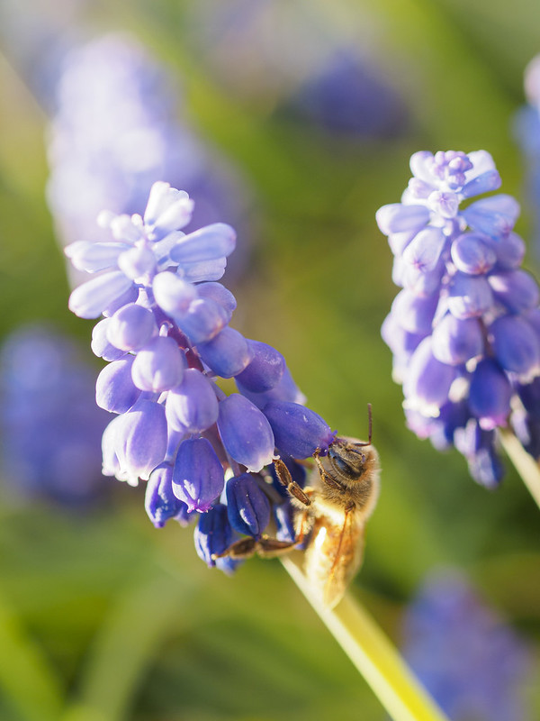 Muscari and bee