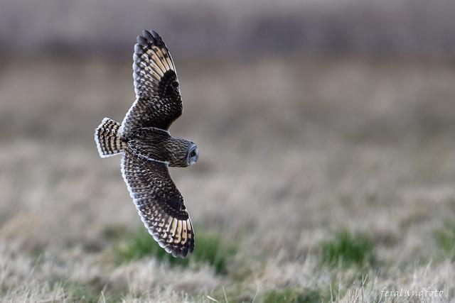 Shorteared Owl Fly by