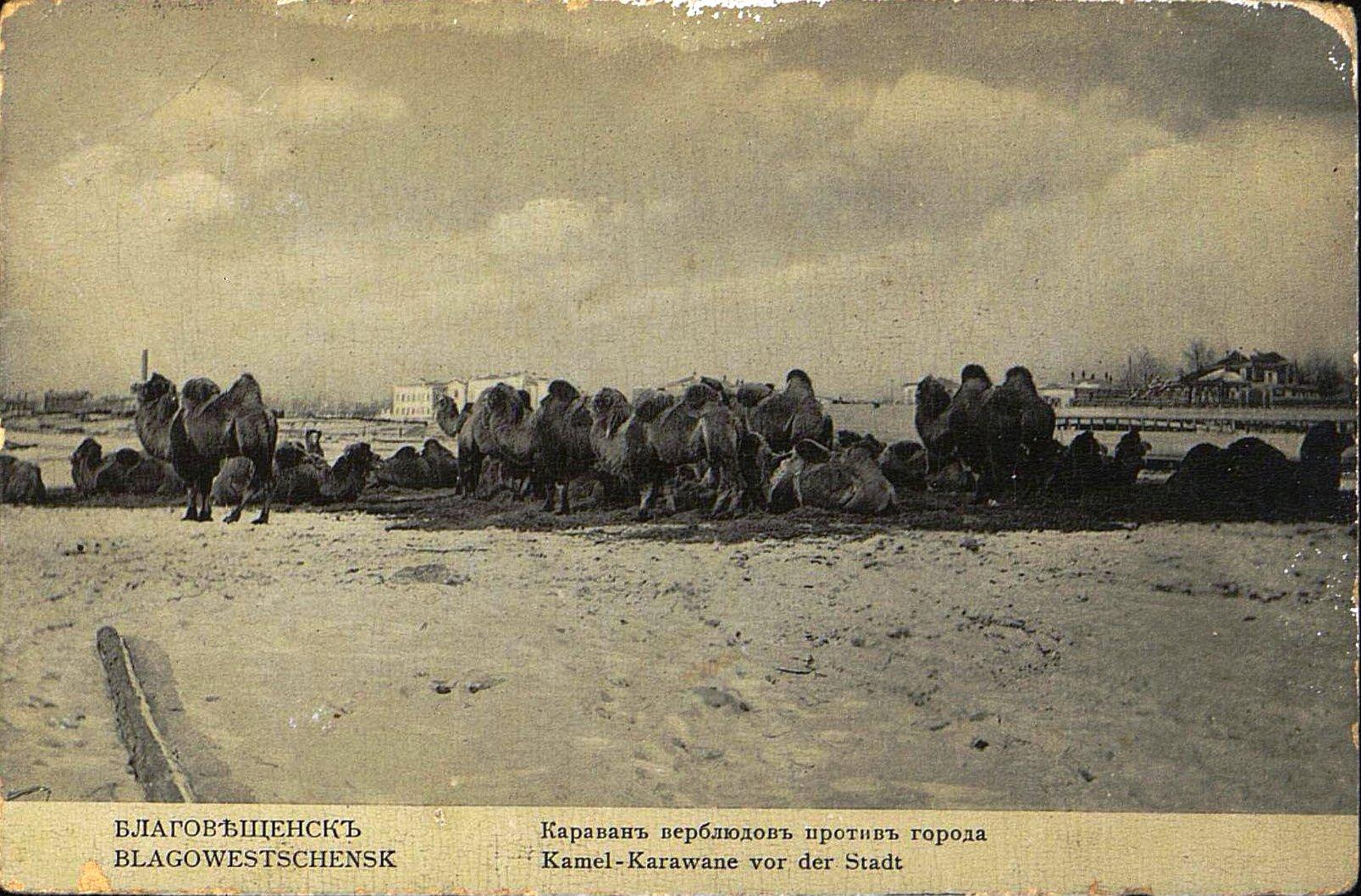 Караван верблюдов около Благовещенска.